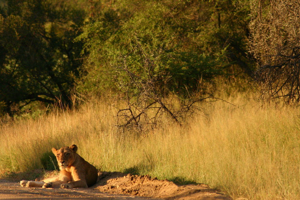 View of a female lion on the side of the road