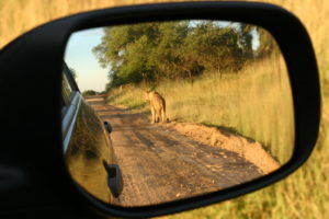 View of a female lion in the rear view mirror