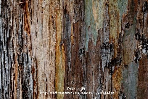 Eucalyptus closeup