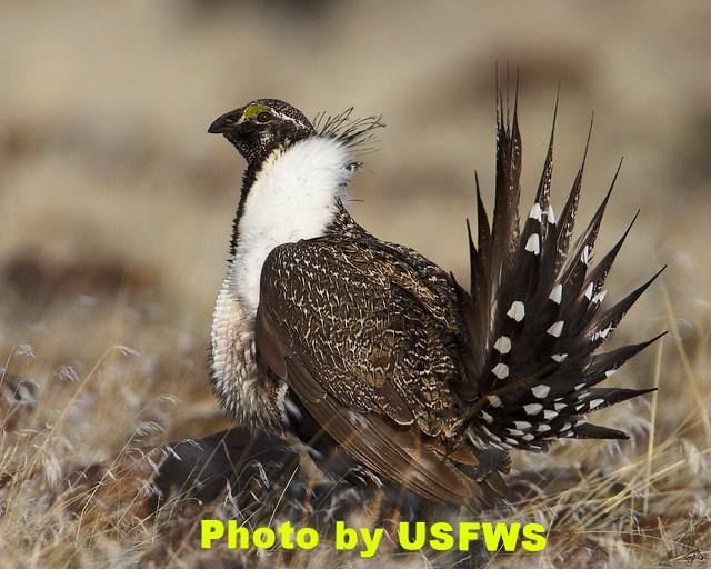 Sage-grouse presenting