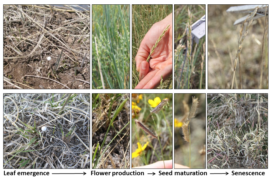 Phenological stages for western wheatgrass (Pascopyrum smithii, above), a cool season grass, and blue grama (Bouteloua gracilis, below), a warm season grass. Photo credits: D. LeCain, J. Kray, C. Youngberg, J. Bushey (USDA-ARS).