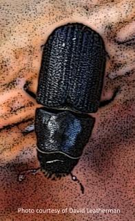 Mtn Pine Beetle closeup