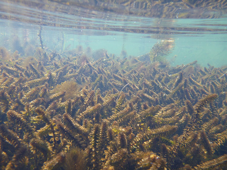 Waterweed, or elodea, is not native to Alaska. It is extremely invasive because it survives freezing and spreads as tiny fragments from boats, floatplanes and equipment. If water weed spreads unchecked, it will cause serious, irreversible harm to fish and aquatic habitats in Alaska. Credit: U.S. Fish and Wildlife Service.
