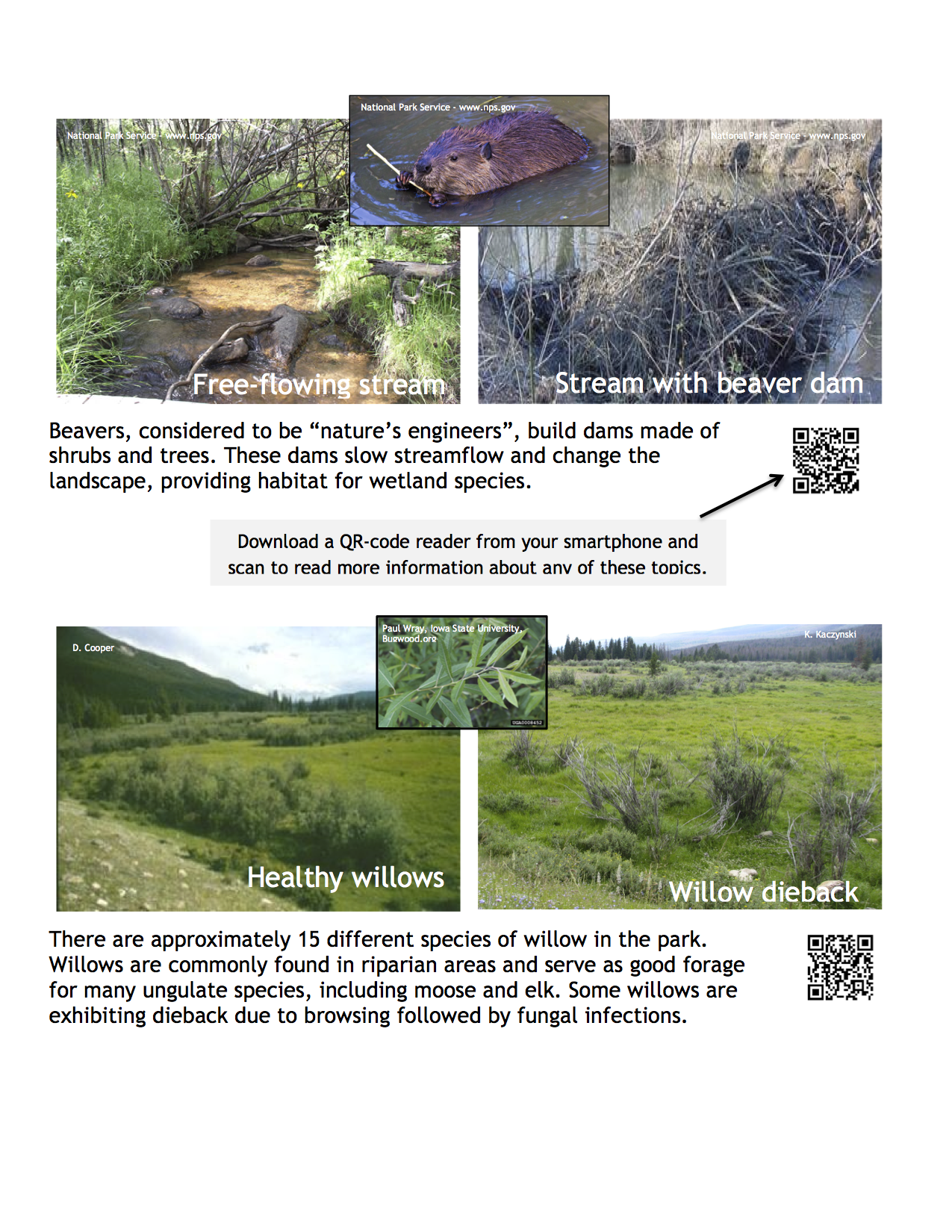 Image of species and QR codes for Rocky Mountain National Park; Beaver, Willows