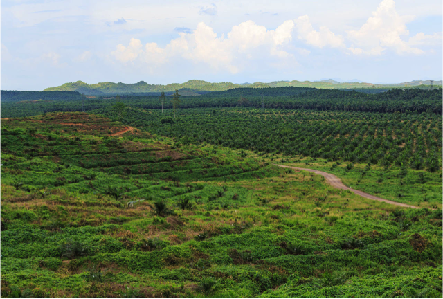 Palm oil plantations have traditionally expanded into forested peat lands (e.g. Indonesia). Image source: Wikimedia