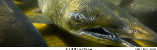 Chinook Salmon closeup