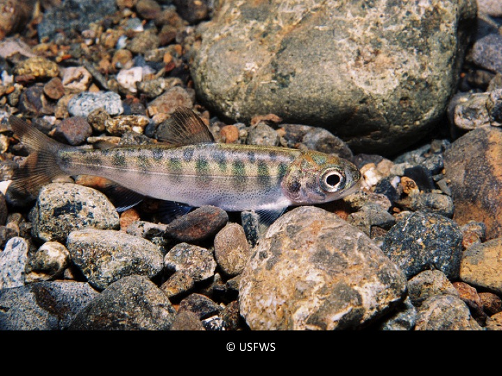 Young Chinook Salmon