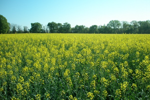 crops in bloom