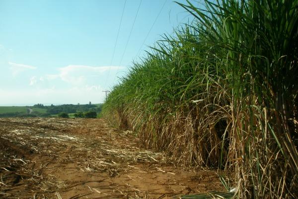 Sugarcane stands