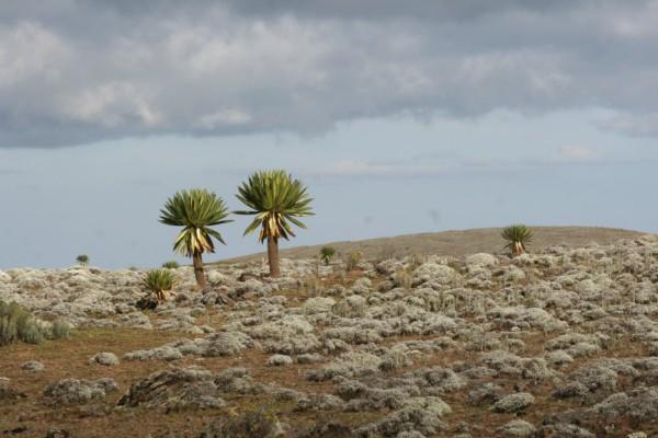 Ethiopia desert plants