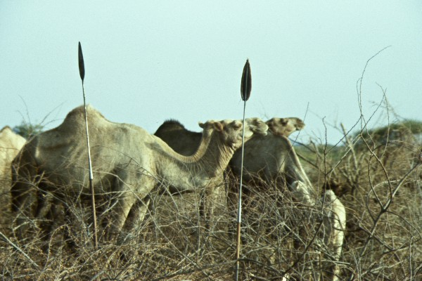 Camels in the wild of Africa