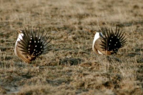 Male sage-grouse displaying for mates