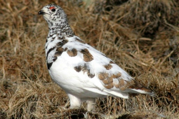 White-tailed Ptarmigan on Mt. Evans