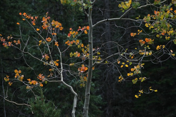 Individual Apsen tree with changing leaves