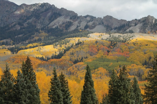 Aspen stand changing colors