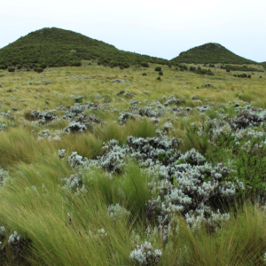 Guassa grass and Helichrysum shrubs.