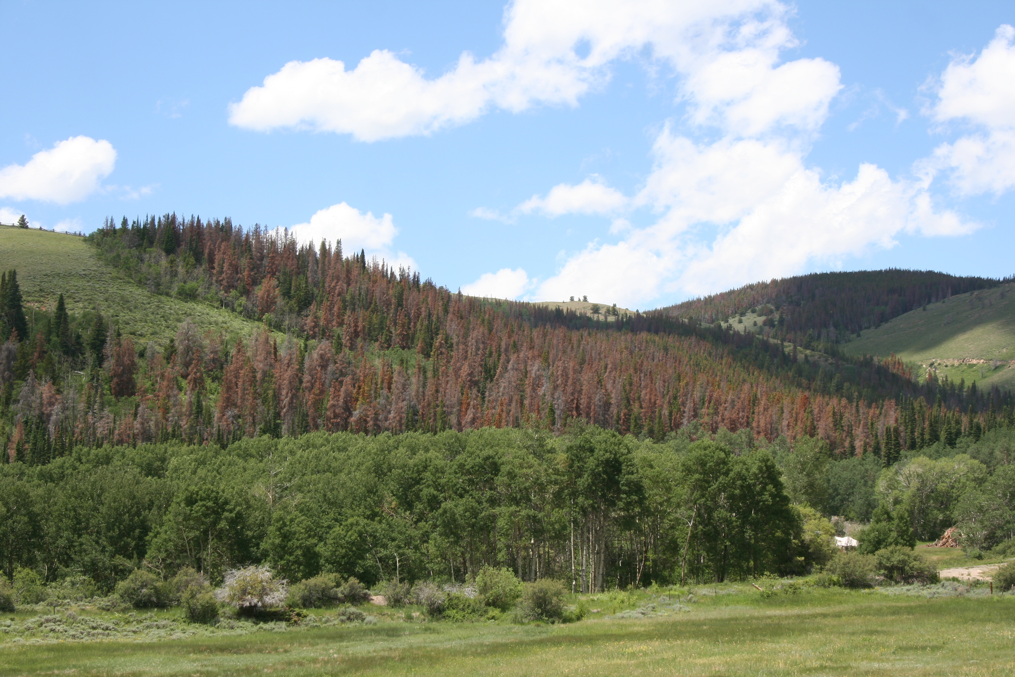 Beetle-kill forest in  Wyoming