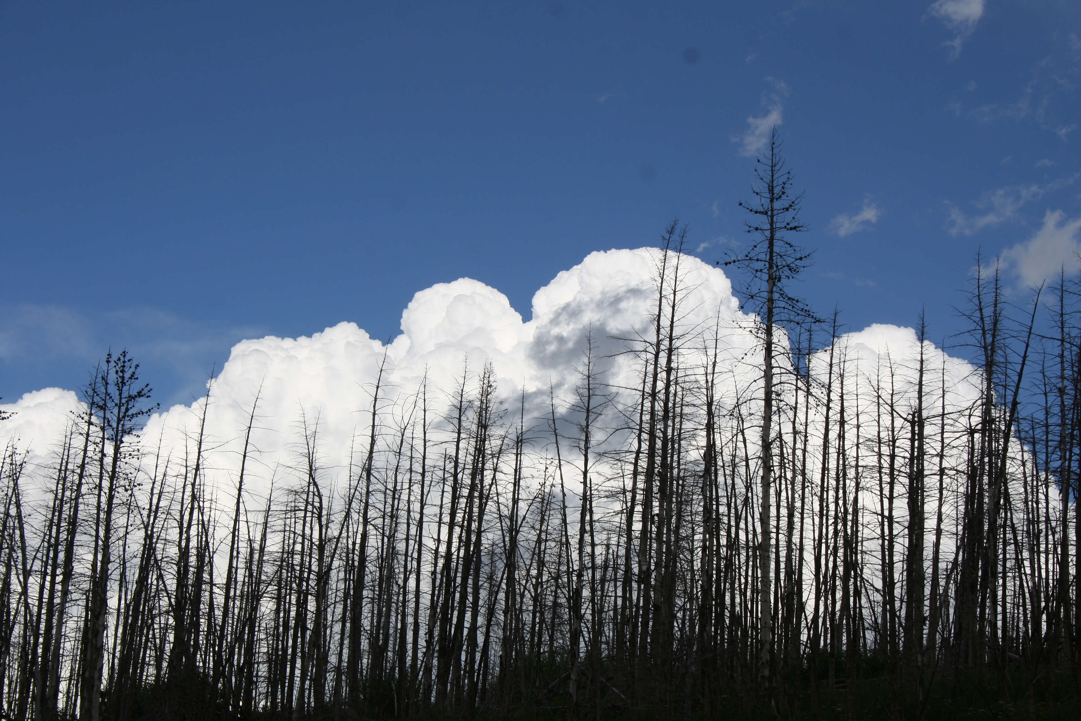 Pine forest burn site in Montana