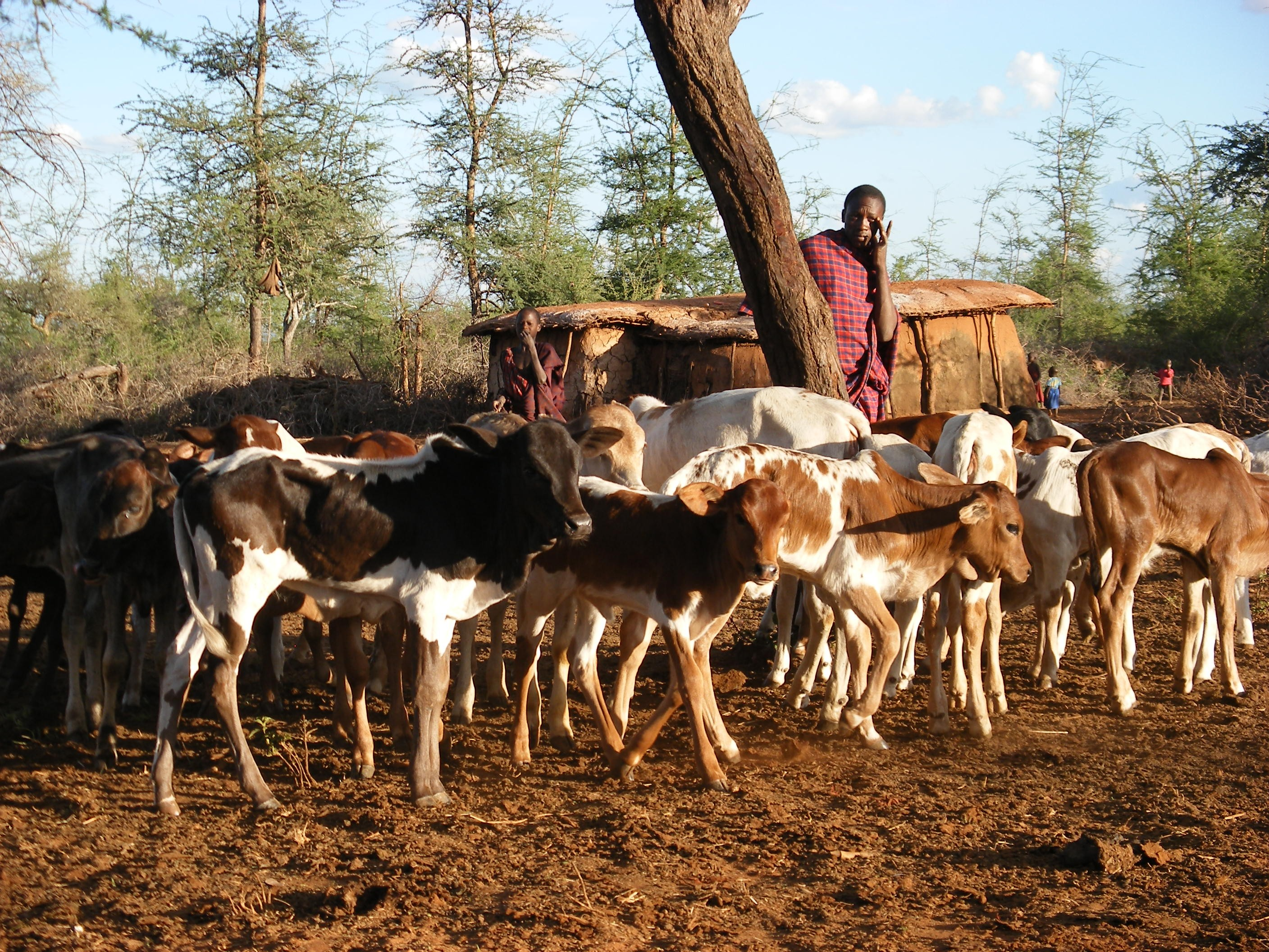 Herder with young cattle in East Africa