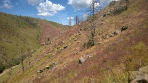 Red Cheatgrass stand at Squirrel Creek