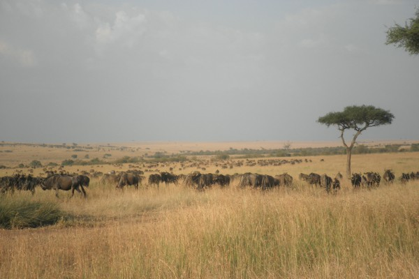 Wildebeest in grassland.
