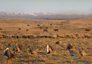 Sage grouse strutting near Boar's Tusk in the Red Desert, Great Divide Basin area of Wyoming.