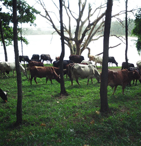 Grazing cattle near body of water.