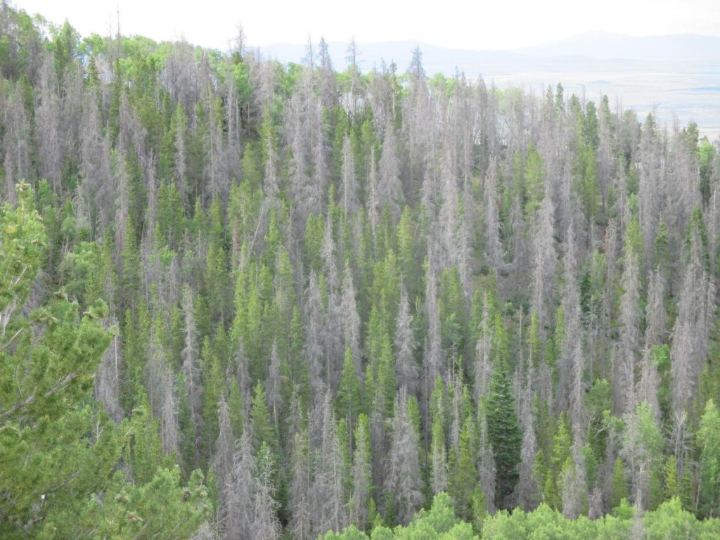 Photo of Colorado forest with >50% tree mortality