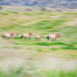A running herd of feral horses in Mongolia