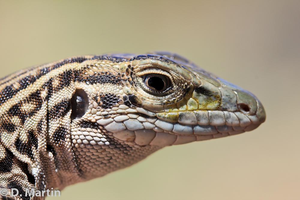 Short-horned Lizard (Phrynosoma hernandesi) in northeastern Colorado