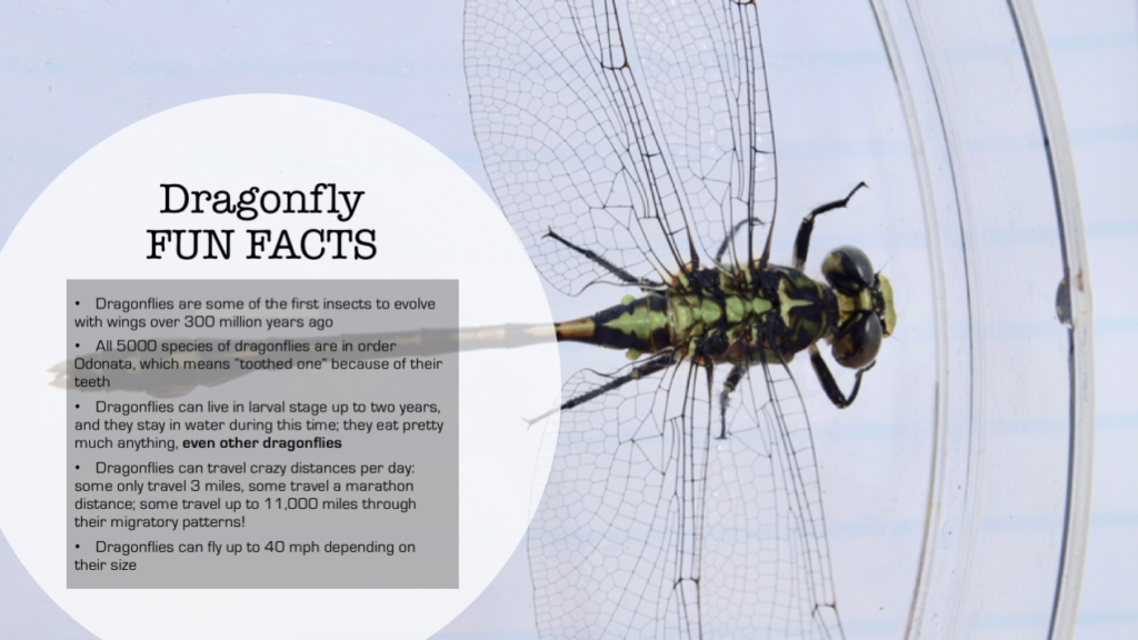 Dragonfly infographic