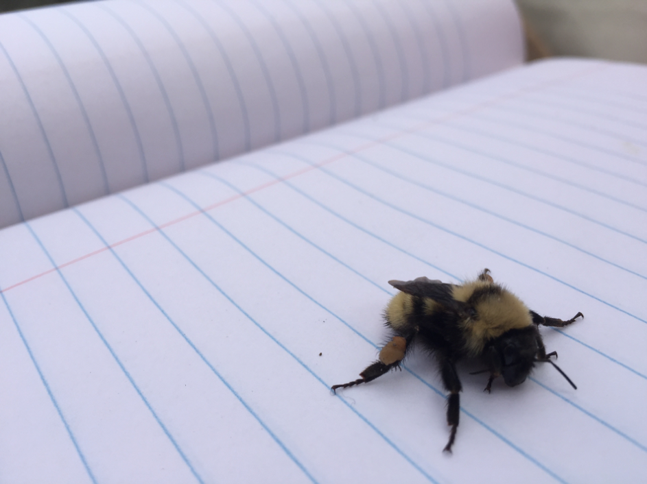 Fuzzy little bumble bee (Genus Bombus)