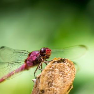 Red Dragon Fly up close