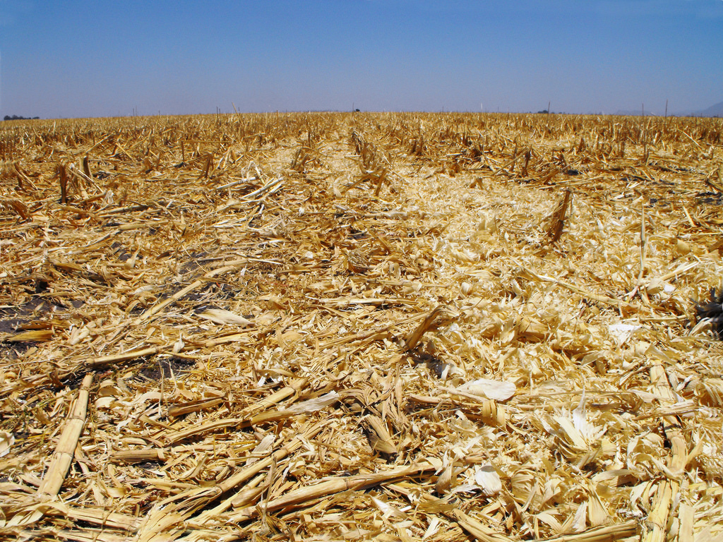 Maize crop residues on trial plots under in northern Mexico