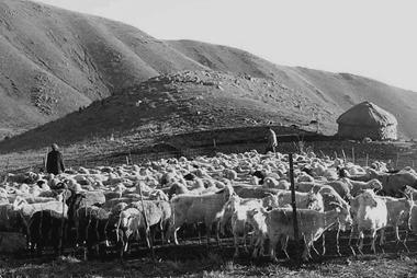 Goat herding pens