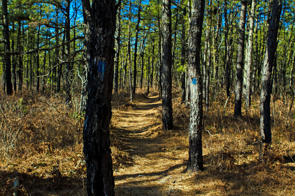 Pine forest in New Jersey